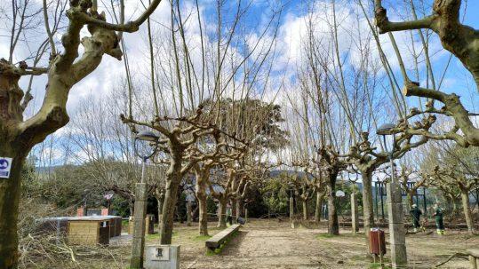 Tomiño continúa os labores de mantemento e renovación do arboredo municipal