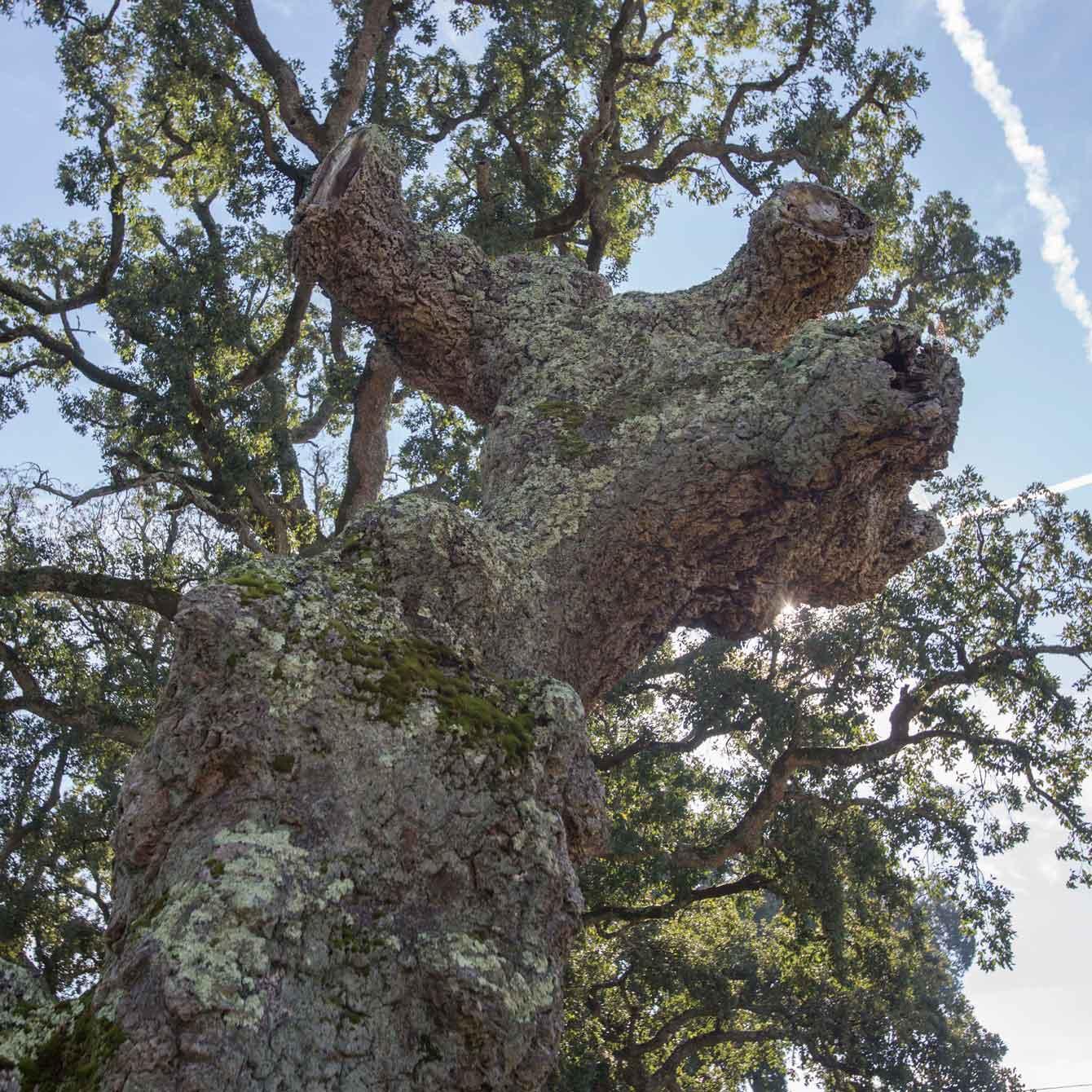arbore-senlleira